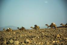 Caravanas atravessando Danakil para comércio de sal.