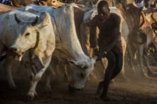 Arrumando os touros em fila.
