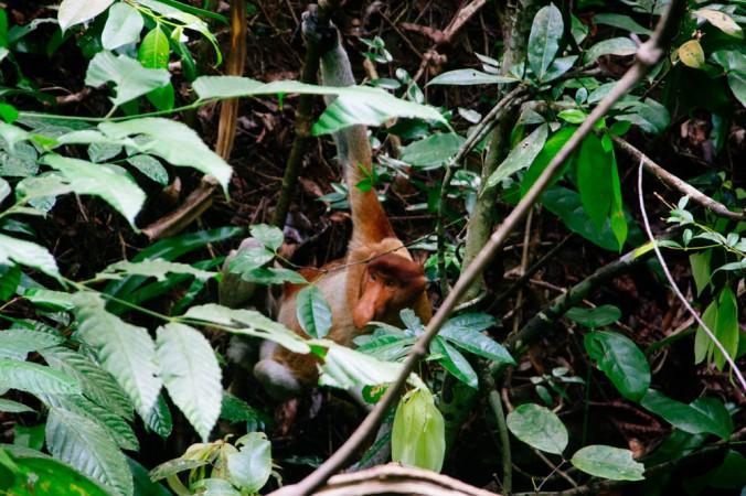 Macaco probscídeo dando um rolê